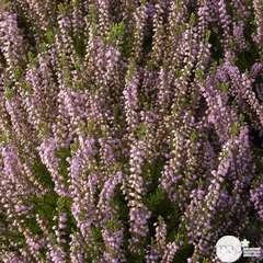 Calluna vulgaris 'Spring Torch':conteneur 1 litre