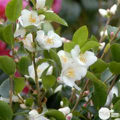 Camellia transnokoensis: 2 litres (blanc étamine jaune