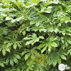 Fatsia japonica : H40/60 cm C3/4L