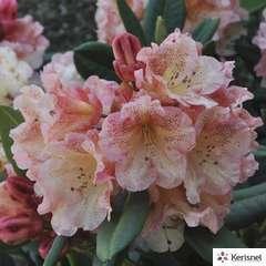 Rhododendron x 'Château de Josselin' : conteneur 7,5 litres
