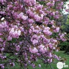 Prunus 'Kiku-Shidare-Zakura': H. 10/12 cm ctr 25L