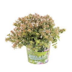 Abelia x grandiflora 'Sparkling Silver '® : conteneur 4,5 litres