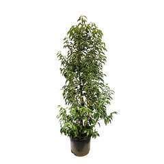 Prunus lusitanica 'Myrtifolia ' :  ctr 15L