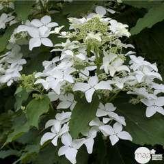 Hydrangea Kyushu : H. 50/60 cm ctr 5L (blanche)