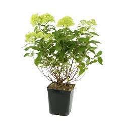 Hydrangea Limelight ®: H. 50/60 cm ctr 5L (blanc citron)