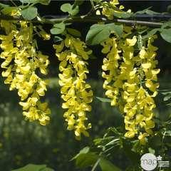 Laburnum Watereri Vossii C.15L 1/2T