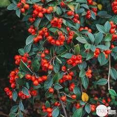 Cotoneaster franchetti :H. 80/100 cm ctr 4L