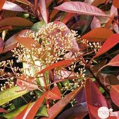 Photinia x fraseri 'Red Robin':H 80/100 cm ctr 7L