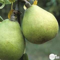 Poirier Beurré d'Anjou :palmette U simple prêt à planter