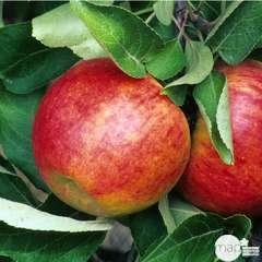 Pommier 'Elstar':palmette U simple prêt à planter