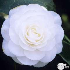Camellia japonica 'Alba Plana ':H 60/70 cm conteneur 7 litres