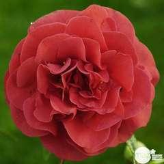 Camellia japonica 'Tom Knudsen ': H. 60/70 cm ctr 7L