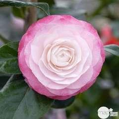 Camellia 'Désir' : H. 60/70 cm ctr 7L
