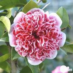 Camellia x 'Volunteer':H 60/70 cm conteneur 7 litres