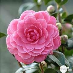Camellia japonica 'Spring Formal ': conteneur 3 litres