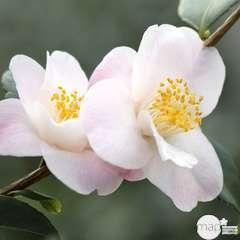 Camellia hybride ' Spring Mist ': H. 40/50 cm ctr 3L