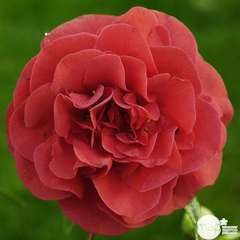 Camellia japonica 'Tom Knudsen ': H. 40/50 cm ctr 3L
