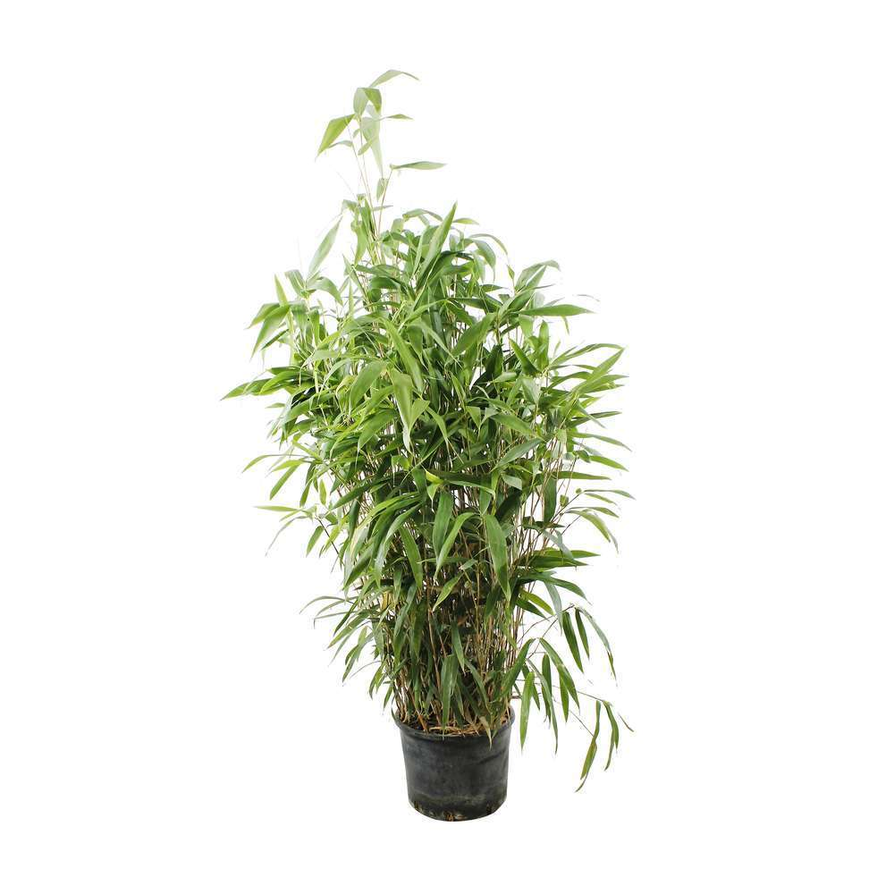 Bambou metake en pot
