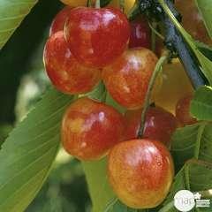 Cerisier Varié : demi tige conteneur 30 litres