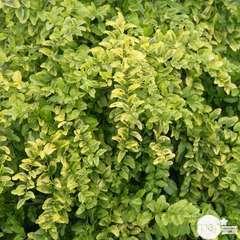 Ligustrum sinensis ' Lemon and LimeTM ' :  conteneur de 8 litres