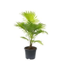 Livistona Rotundifolia : pot D.21cm