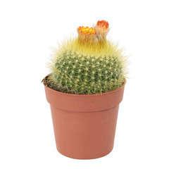 Cactus fleuri:H 12,5 cm pot D 8,5 cm