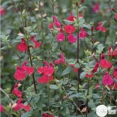 Salvia Grahamii : C3L Marque Truffaut