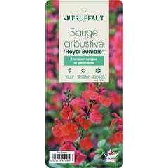 Sauge microphylla 'Royal Bumble' : ctr 3 litres