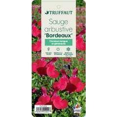 Sauge microphylla 'Bordeaux' : ctr 3 litres