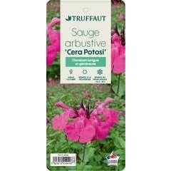 Sauge microphylla 'Cera Potosi' : ctr 3 litres