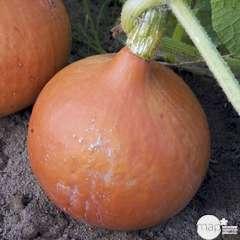Plant de courge 'Potimarron' bio : pot de 0,5 litre