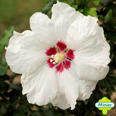Hibiscus syriacus 'Sup' Heart' ® ':conteneur 5 litres