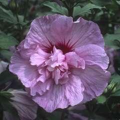 Hibiscus syriacus 'Lavender Chiffon' : conteneur 10 litres