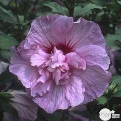 Hibiscus syriacus 'Lavender Chiffon' : conteneur 5 litres