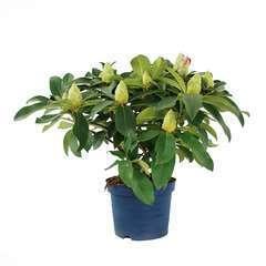 Rhododendron x 'XXL' : D 40/50 cm conteneur 5 litres
