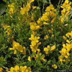 Cytisus x racemosus :pot 2 litres