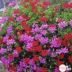 Pélargonium : jardinière L.40cm