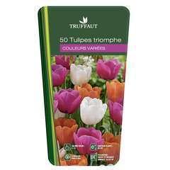 Bulbes de tulipes triomphe - x50