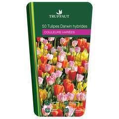 Bulbes de tulipes Darwin - x50
