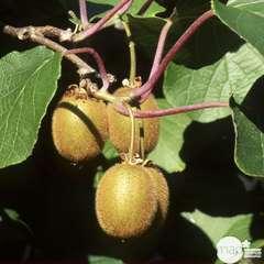 Kiwi chinensis Solissimo® 'Renact' : pot de 1,5 litres