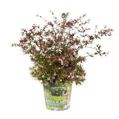 Abelia x grandiflora 'Semperflorens ':Touffe conteneur 4,5 litres