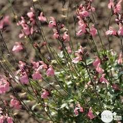Salvia x ' Pluenn ' : conteneur 7,5 litres