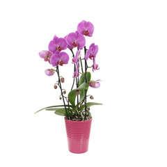 Orchidée Phalaeonopsis rose en cascade 2 tiges - pot D.13 cm