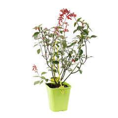 Salvia Embers Wish C 4L
