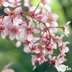 Prunus padus :  ctr 7,5 litres