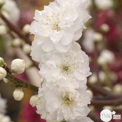 Prunus persica ' Taoflora '® :white conteneur 10 litres