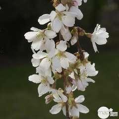 Prunus Fount. Snofozam : C.15L