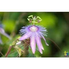 Passiflore  Purple Passion®  Conteneur de : 3 L