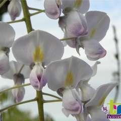 Glycine du Japon Floribunda Lipstick  Conteneur de : 3 L