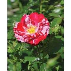 Rosier buisson rouge bicolore 'Excentrique®' : pot de 5 litres